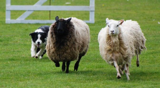herding-featured